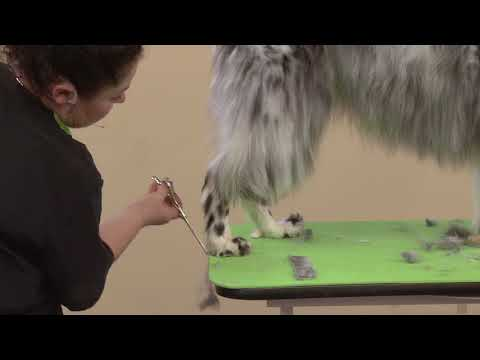 Learn How Easy It Is To Handstrip a Pet English Setter