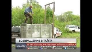 Тигра Упорного выпустили на волю. Новости. Gubernia TV