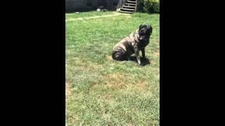 Zeke Working His Off Leash Obedience -rocky Road K9 - Myrtle Beach Dog Training