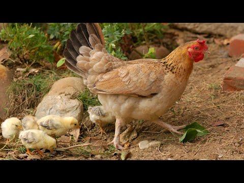Звук курицы, кудахтанье курицы