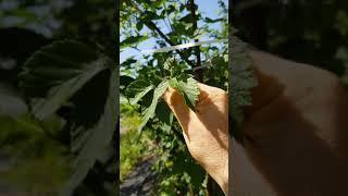 수퍼복분자 재배법