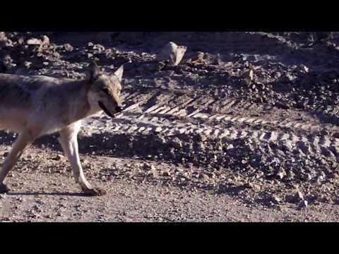 256 2844 Yellowstone wolf 1