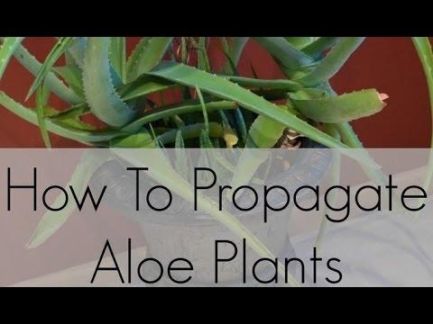 propagate aloe vera through leaf cutting part 2 youtube. Black Bedroom Furniture Sets. Home Design Ideas
