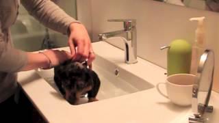 Mini Dapple Dachshund Puppy First Bath!