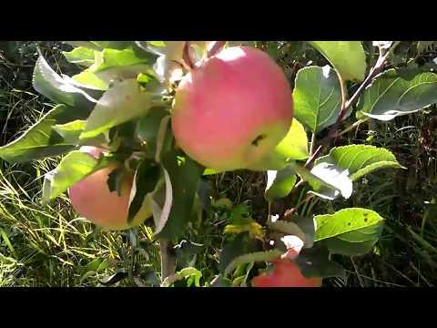 """Яблоня сорта """"Жигулевское""""."""