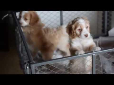 Cockapoo Puppies For Sale Millersburg Ohio Youtube