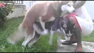 Tutorial making dogs - Siberian Huskies During Mating
