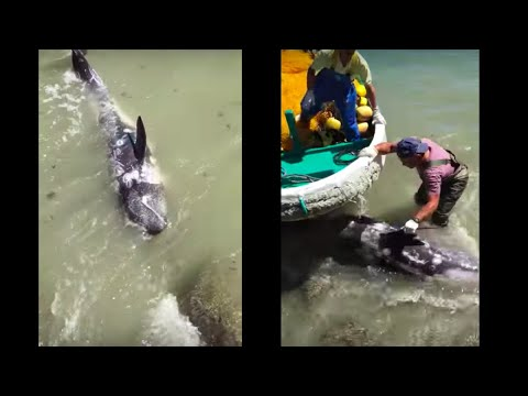 Terrified Dolphin Throws Himself At Ric O'Barry's Feet To Escape Hunters