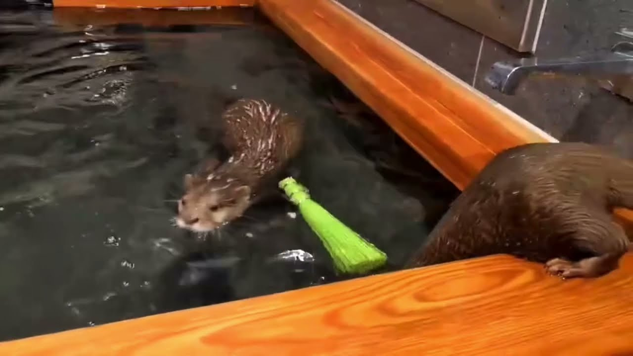 どっちがお掃除するか相談してるカワウソ達 Otters discussing which one to clean