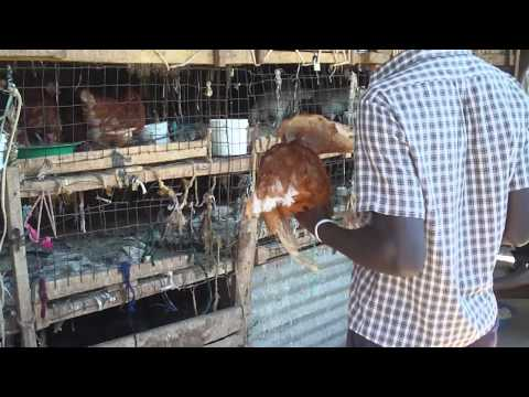 Soroti Market: Purchasing a live chicken