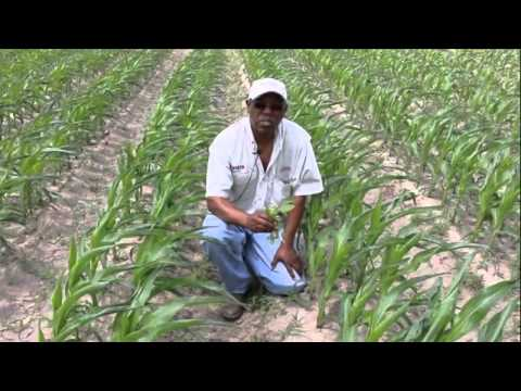 Control Weeds Early To Protect Corn Yield