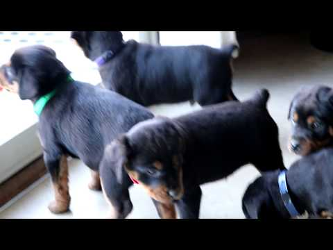Mini Rottweiler Puppies for Sale - YouTube