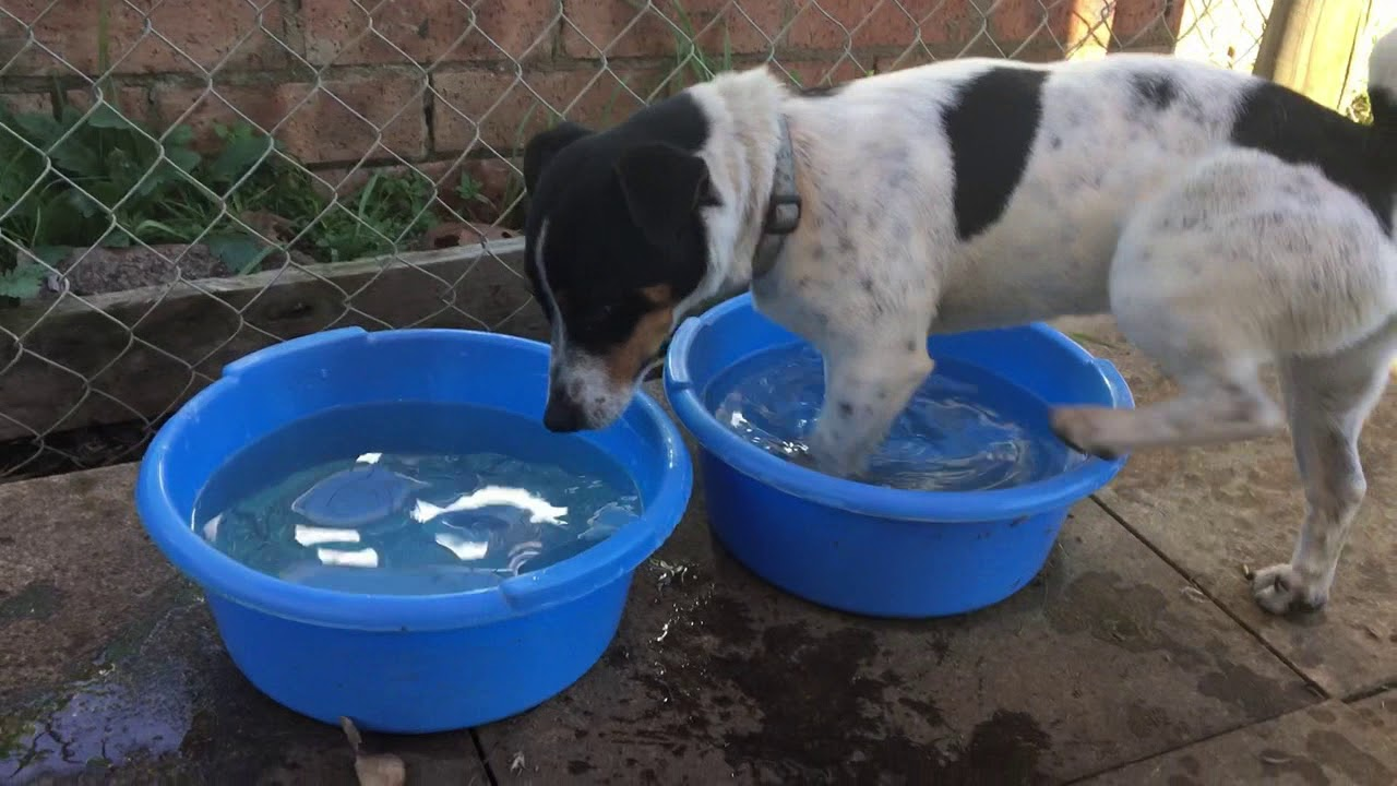 Jacks for Adoption – Jack Russell Rescue