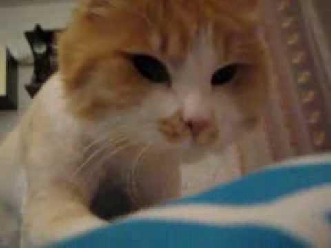 10. Размножение / Шотландские вислоухие кошки