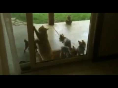 Cat Opens The Door For Puppys