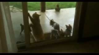 Cat Opens The Door For Puppys