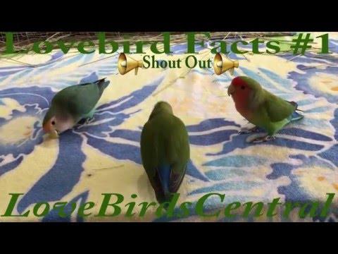 Lovebird Facts #1 | Healthy Beaks | Shout Out | LoveBirdsCentral #87