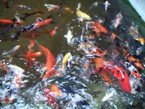 KOI SA ILIGAN, PUROK #1 kIWALAN, ILIGAN CITY (09059474739)