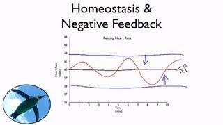 Homeostasis And Negative Feedback
