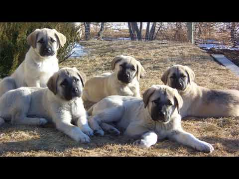 Kangal Puppies - Best of the Best!