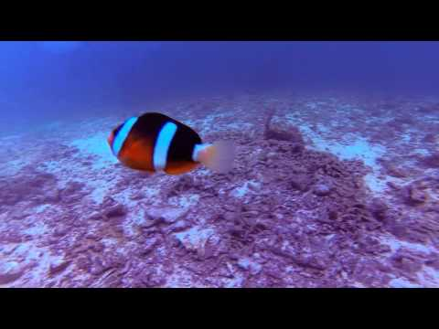 When Clownfish Attack