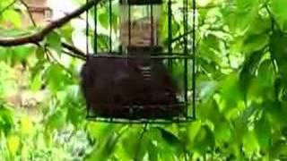 Black Squirrel In Squirrel Proof Feeder