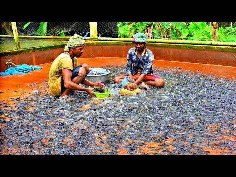 Model Catfish Hatchery / হাইব্রিড মাগুর  Hybrid Magur Fish Farming