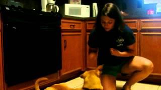 Meet Sierra 0943 A Retriever Labrador Currently Available For Adoption At Petango.com! 9/19/2012 11