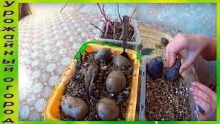 видео Способы размножения картофеля