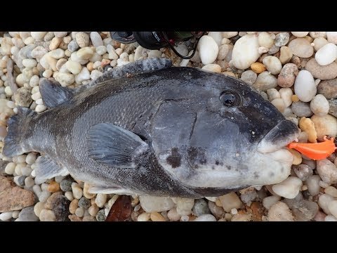 Blackfish Fishing From Shore - Triple Limit! Plus Albies!