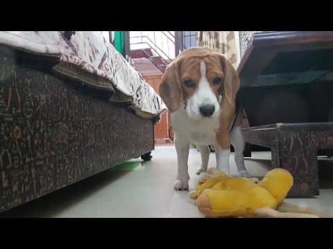 Cute Beagle Dog Playing with his friend