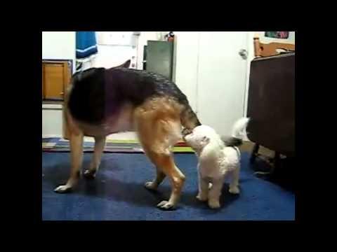 German Shepherd Dog Vs Toy Poodle | Amazing