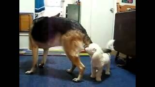German Shepherd Dog Vs Toy Poodle | Amazing