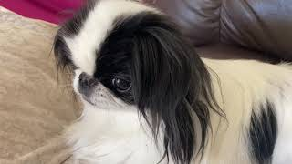 Japanese Chin Dogs  Mostly Sleeping