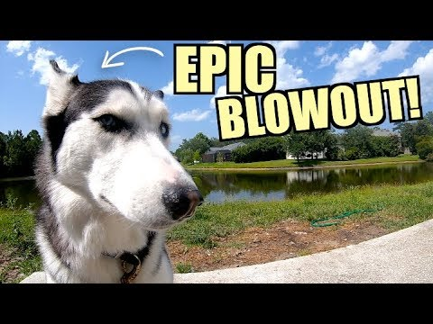 Siberian Husky BLOWS ENTIRE COAT And Gets HIT IN THE FACE!