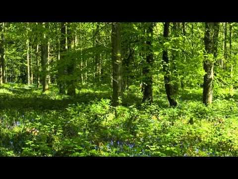Лесные колокольчики