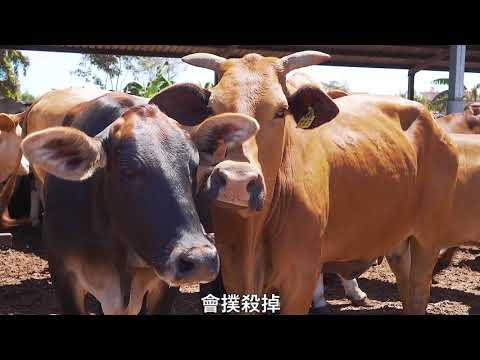 18萬劑疫苗抵臺防止牛結節疹疫情擴散