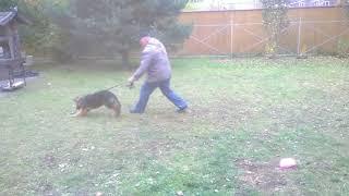 Дрессировка немецкой овчарки. Видео 6
