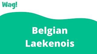 Belgian Laekenois | Wag!