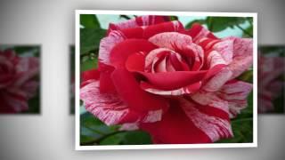 Raudona roze meiles gele