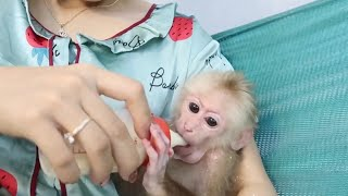 Prepare corn milk for monkey babies