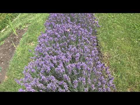 Выращивание лаванды из семян Ленивый сад