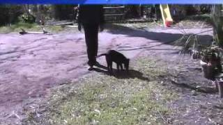 "Dutch Shepherd Training ""zues"" Obedience Session"