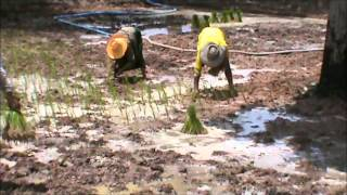 Thailand Rice Cultivation, Start - Finish