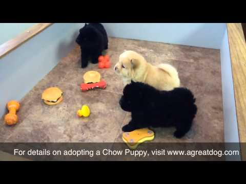 Male Chow Puppies