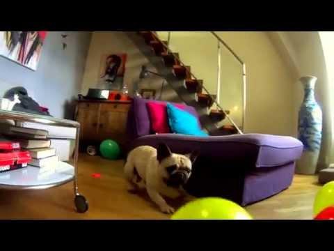Hillarious dog vs. balloons!