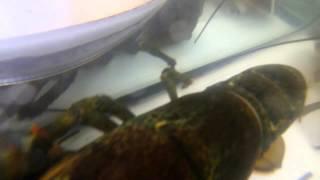 Groomergo Lobster Tank: Gopro Lobster Tank
