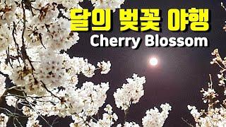 달의 벚꽃 야행 (전주 삼천천, 진안 마이산) / 월광…