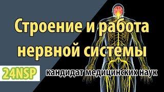 Строение и работа нервной системы человека!