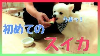 スイカを初めて食べるポメラニアンとシーズー♪ Pomeranian eating watermelon for the first time
